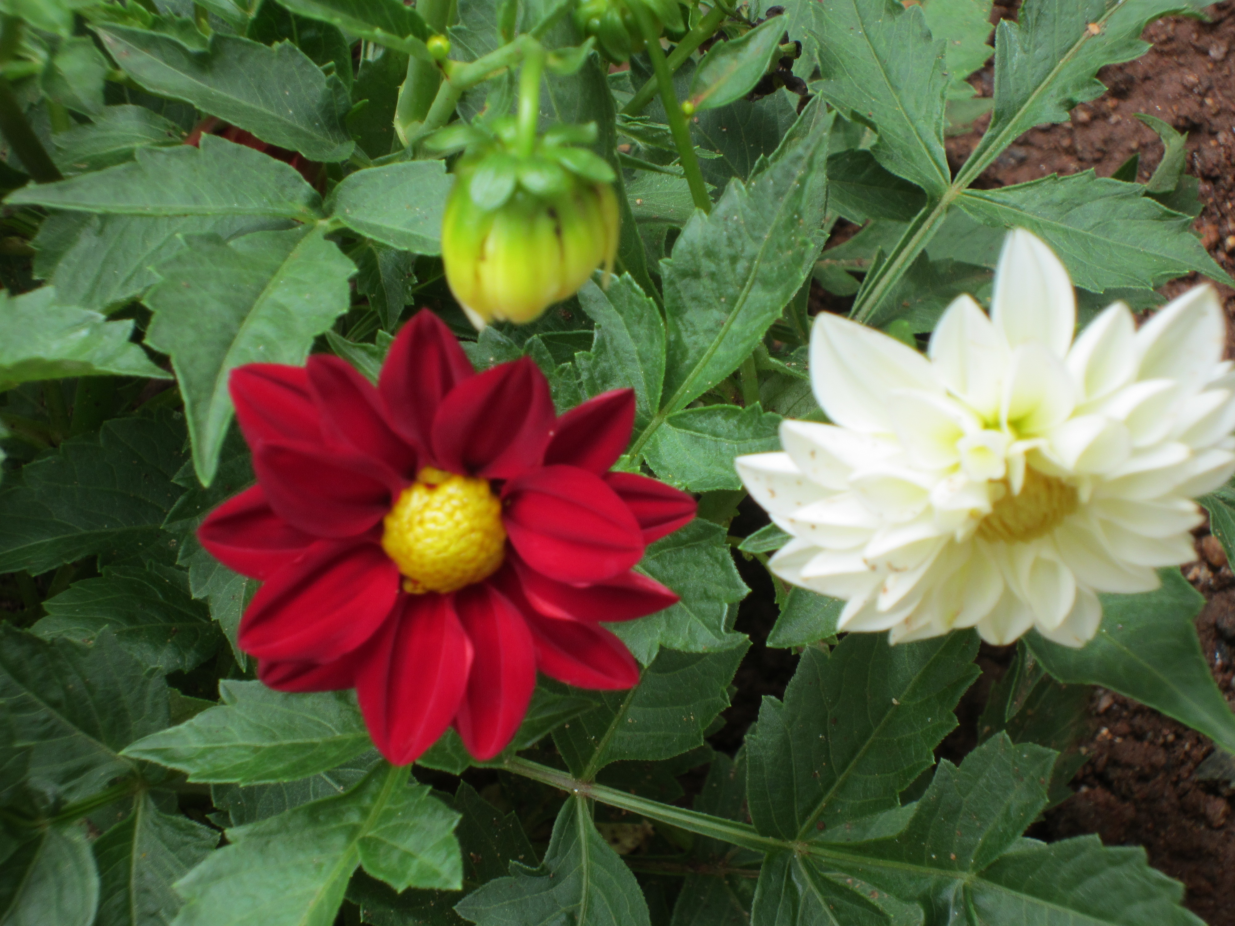 Pictures Of Flowering House Plants Dahlia A Tuberous Flowering Plant Smallhomegardens2012