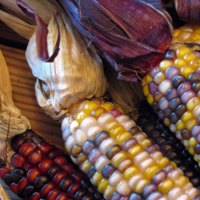 inspired by . Indian Corn