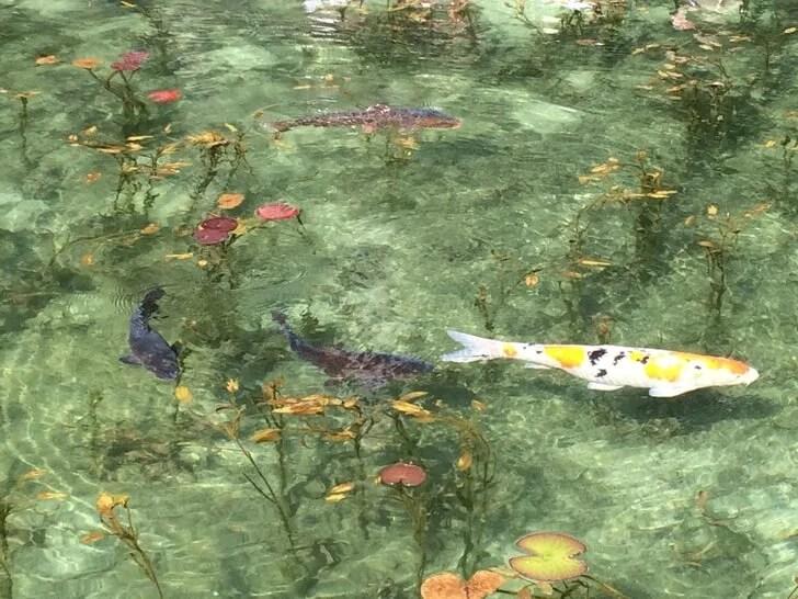 モネの池で撮影した鯉の写真その2