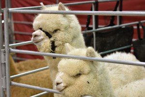 Alpacalyspe Now: Reviewing the MOPACA Alpaca Show
