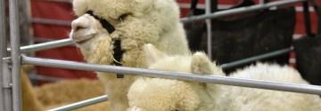 Alpacalyspe Now: Reviewing the MOPACA Alpaca Show