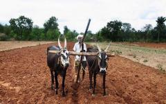 agriculture_bulls_farmer