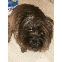 Supple Mickey Cairn Toto Fort Collins What Kind Dog Is Toto Emerald City Shameless What Kind Dog Is Toto