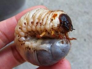 カブトムシ幼虫飼育方法