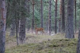 Reh im Wald in Schweden