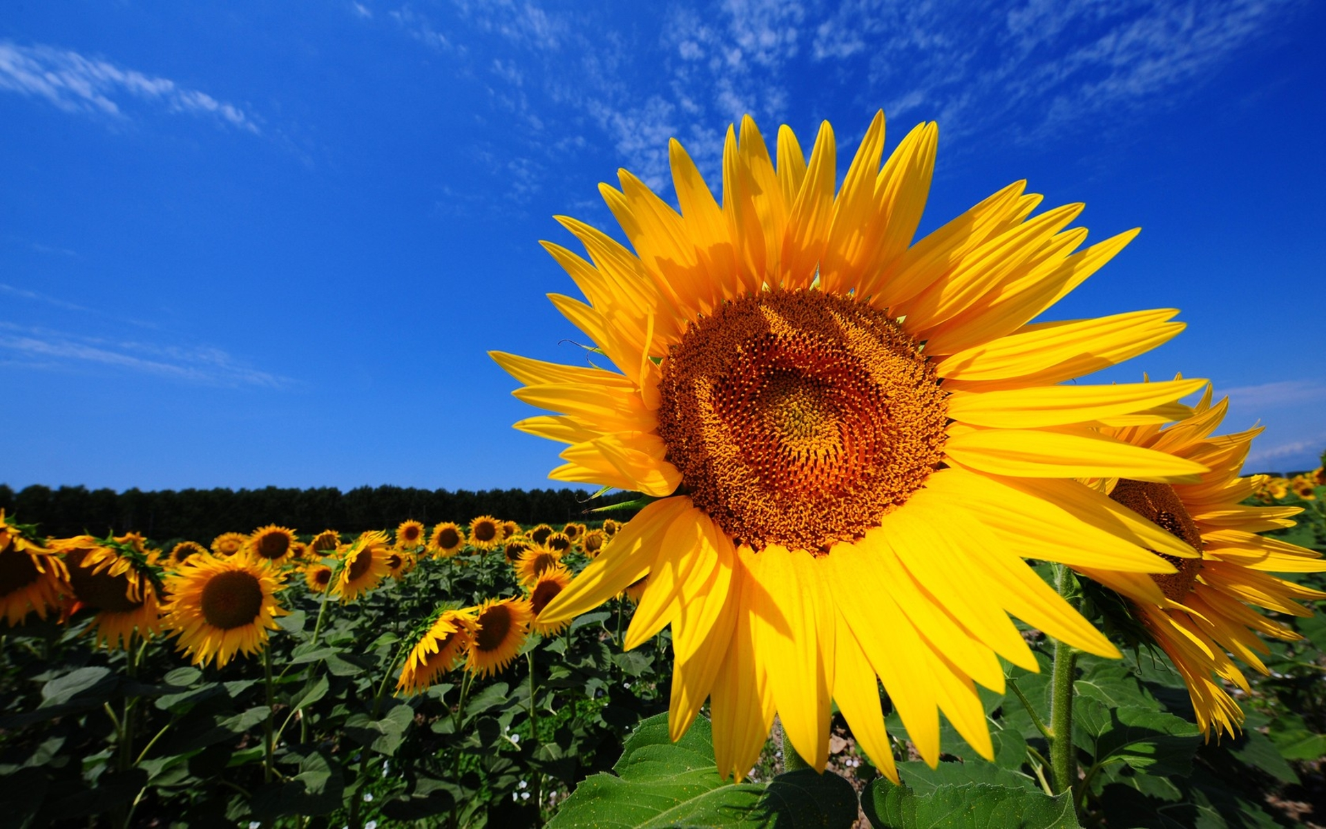 Thankful Wallpaper Quotes Magnificent Sunflower Fields And Interesting Facts About