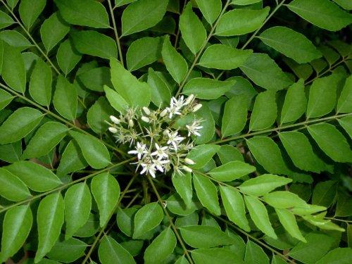 Medium Of Curry Leaf Plant
