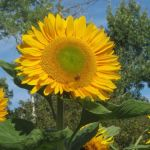 Sunflower Power!