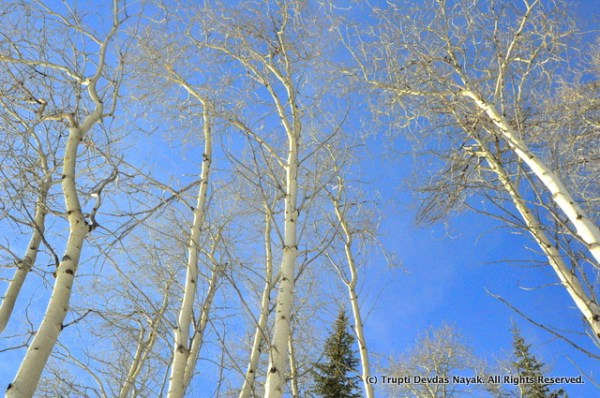 Aspen trees along the snowshoe trail