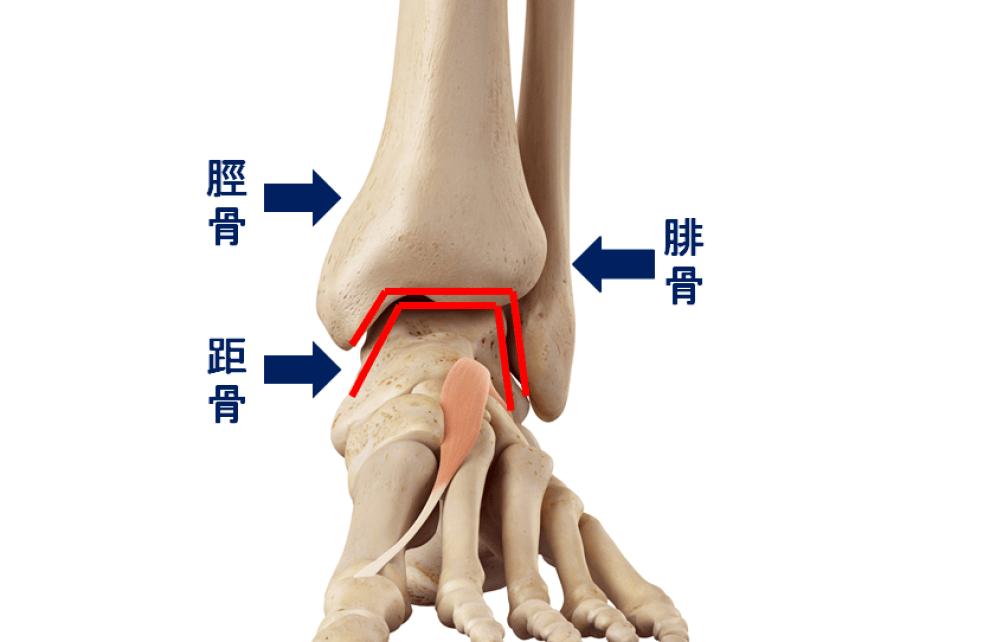 脛骨と腓骨の凹みと距骨の凸がはまり込んでいる