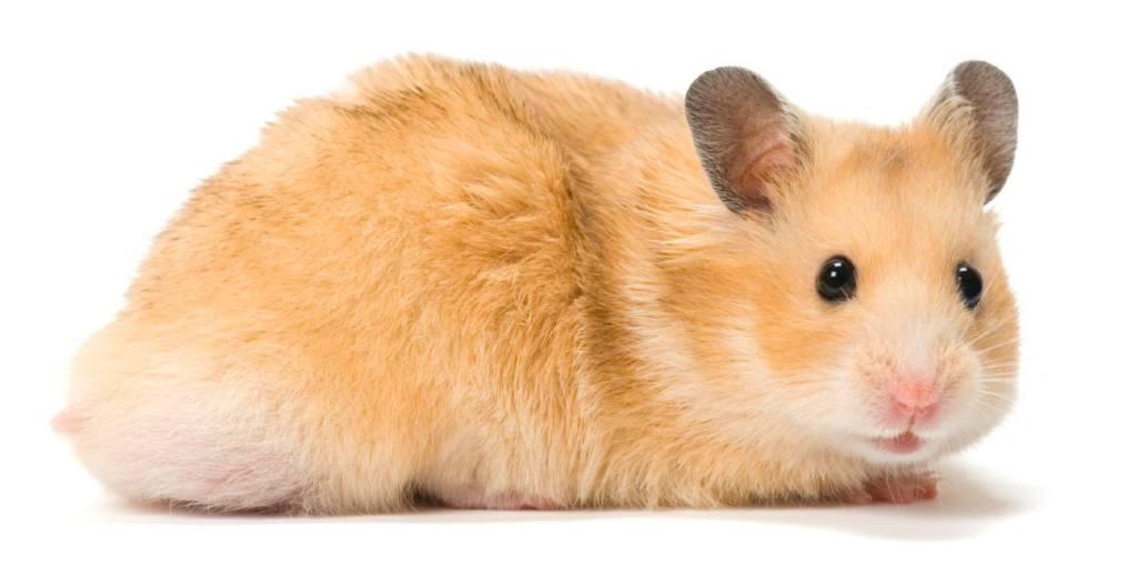download game hamster life mod apk