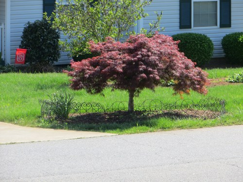 Medium Of Dwarf Japanese Maple Tree