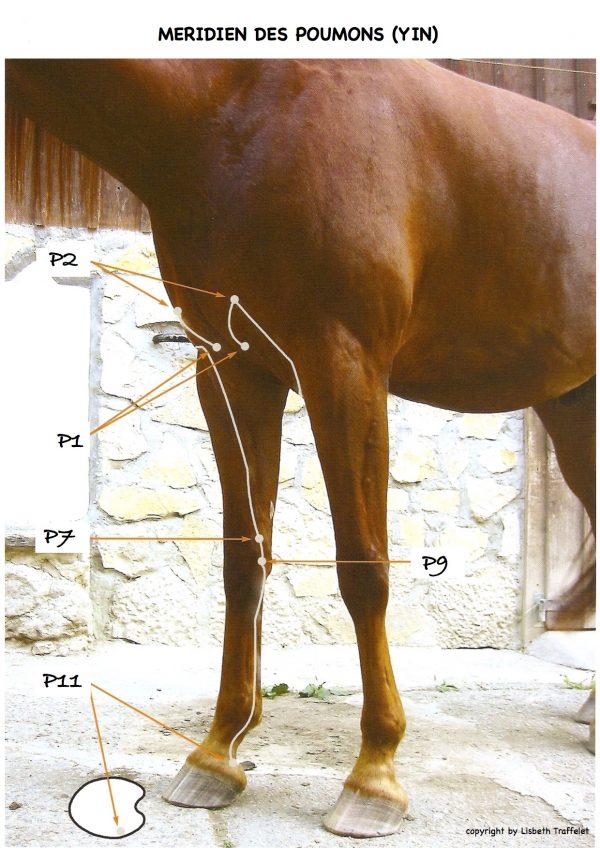 Meridien Poumon cheval
