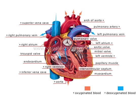 Heart and Blood Circulation - Weekly Science