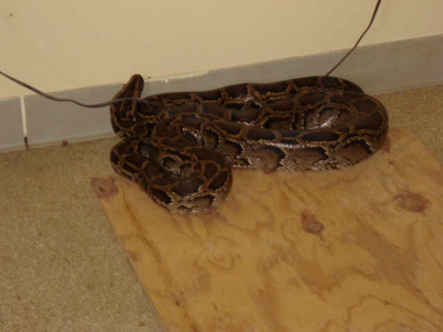 Exotic Python Found in Everglades National Park in 2007