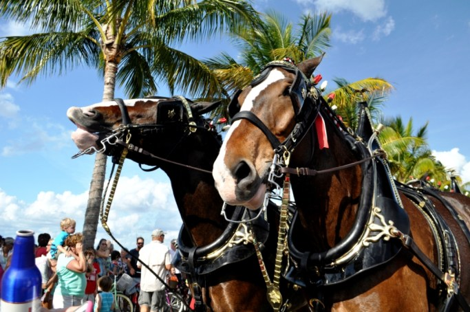 Ivan and Charley Led the Budweiser Clydesdale Team in Punta Gorda, Nov. 18, 2015
