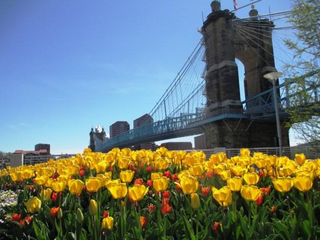 Vibrant Tulips at The Banks in Cincinnati, Ohio, April 2016.