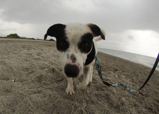 Radcliff at the Venice Dog Beach, Fla., Aug. 2016