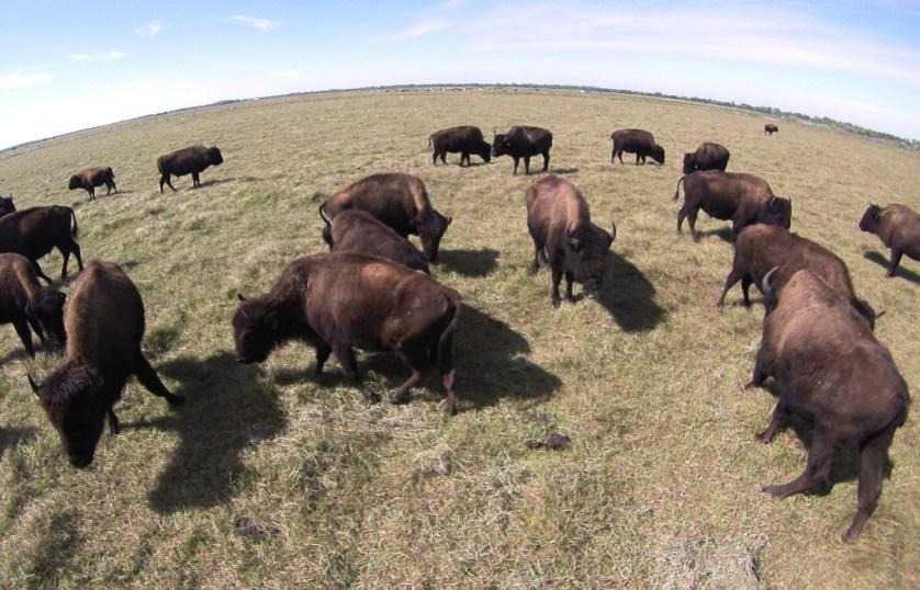 Bison at Three Suns Ranch in Punta Gorda, Fla.