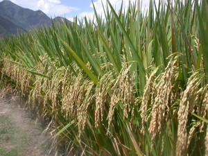 Rice-farmers-are-tripling-yield-by-introducing-symbiotic-soil-microbes