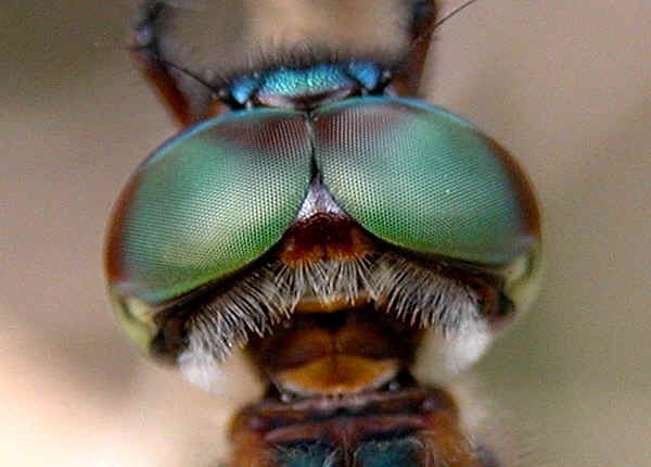 Compound Eyes of Insects - Some Interesting Facts