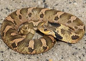 American Hognose Snakes