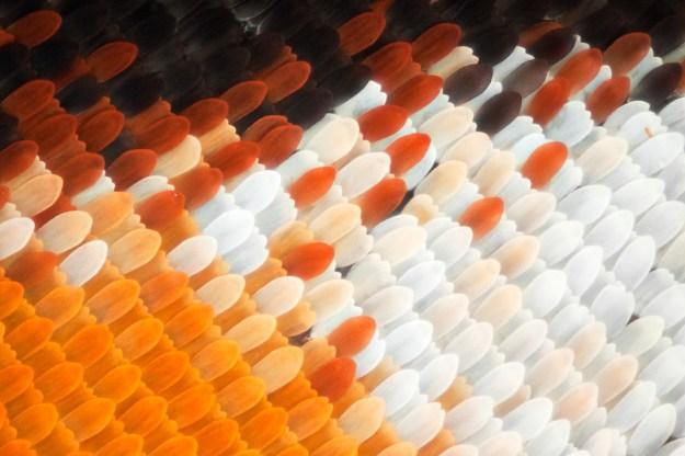 Asa de borboleta em macro (9)