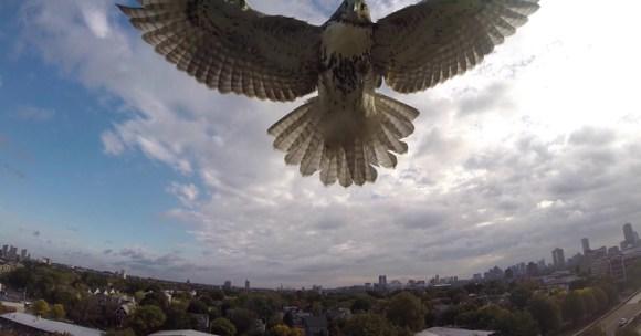 hawk-takes-down-quadcopter-drone-dji-phantom[1]