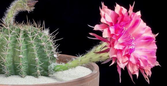 Assista às lindas flores dos cactos desabrocharem em time-lapse