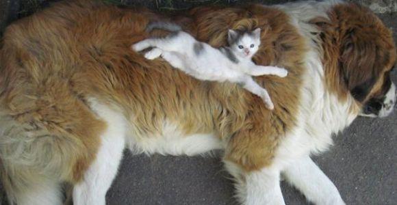 20 vezes em que gatos usaram cães como almofadas