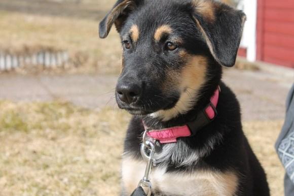 puppy-742599_640