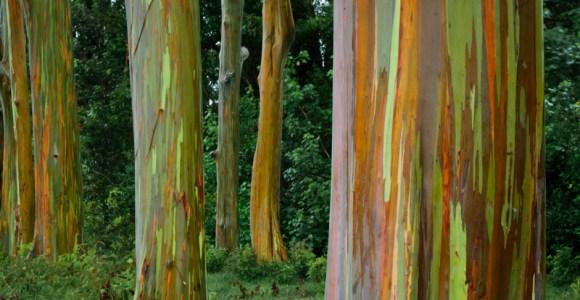 O tronco desses eucaliptos se parecem com pinturas impressionistas