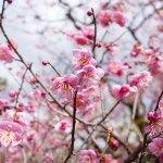 北野天満宮の梅花祭へ行ったら混雑振りがすごかった!【教訓を学ぶ編】