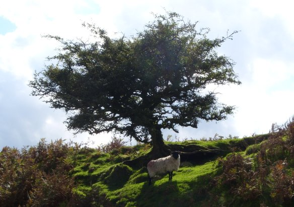 Sheep under the Quickthorn