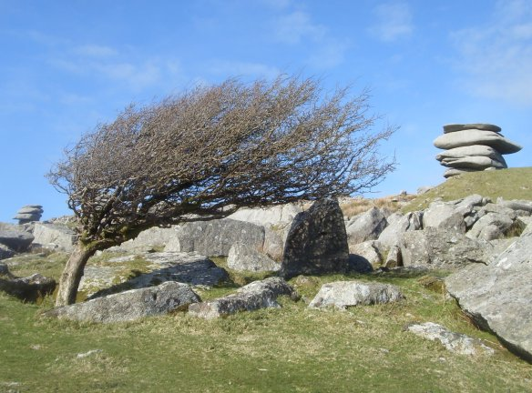 Hawthorn at Cheesewring.  Near site of Hurlers Stone Circles - Bodmin Moor.