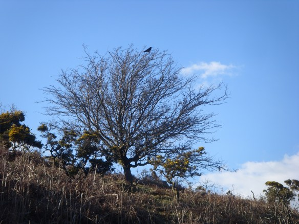 Dartmoor crow.