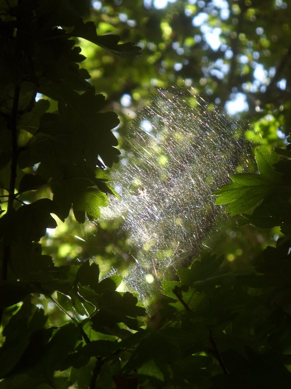 and the magical weavings and wonders of Mother Nature - and unexpected shafts of light. Spotlight on Incy-Wincy spider in her web - spied in a Hawthorn tree that overhung the utilitarian car park.  Beauty is everywhere - you just have to perceive it.