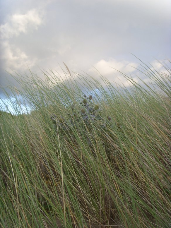 Sea Holly and grasses blowing in the wind.