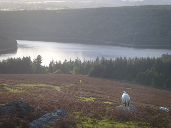 Reflection above a sheep's-eye view. Burrator Reservoir from the slopes of Sheepstor.