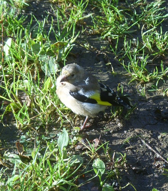 goldfinch-torrington-commons-something-about-dartmoor