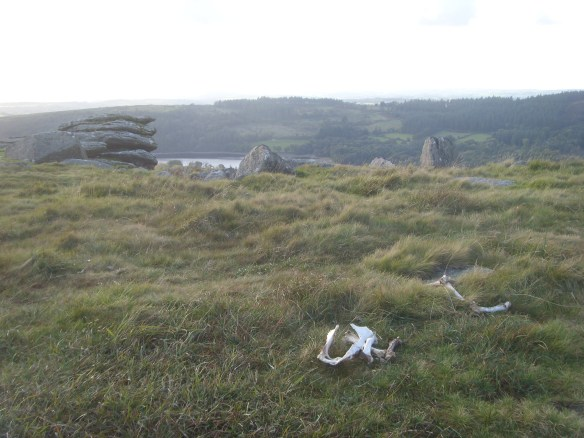 Scattering of sheep bones on Sheepstor.