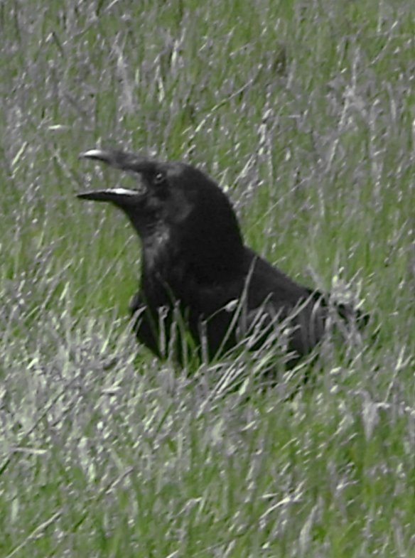 longleat-raven-in-the-long-grass-something-about-dartmoor