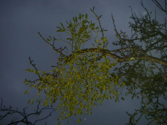 Ball of Mistletoe against a leaden sky - the forecast for Bath was rain...