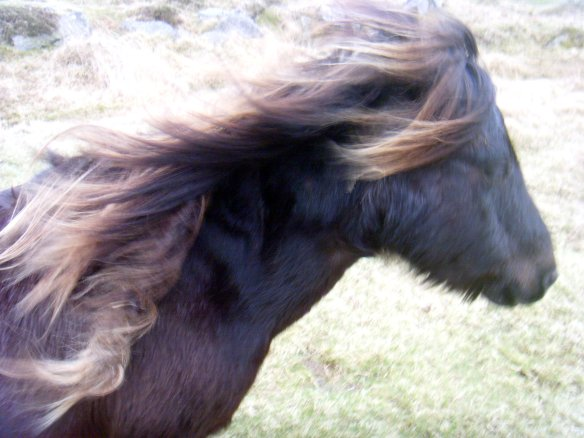 Dartmoor Pony with the wind in her hair. Something about Dartmoor