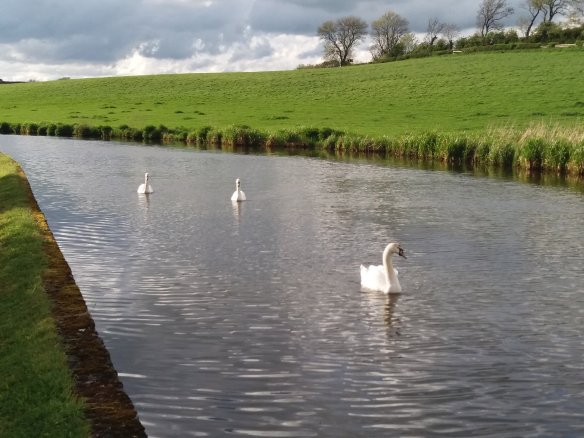 Swans on the Skipton to Gargrave stretch of the Leeds Liverpool Canal. We enloyed a beautiful walk of about four and a half miles along the towpath.