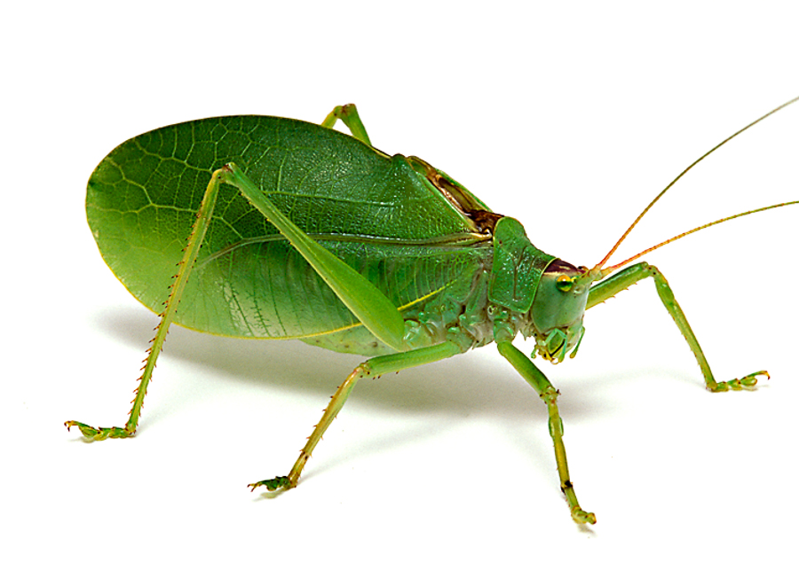Common True Katydid Songs of Insects