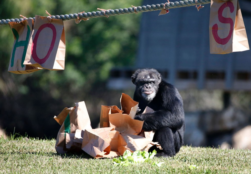 A chimpanzee opens a Christmas present at the 'Christmas with the Chimps' event at Lion Country Safari in West Palm Beach, Florida, on December 22, 2016.  Lion Country Safari, America's first cageless zoo, has held the annual event for over 20 years with Santa Claus leaving presents and treats for the chimps. / AFP PHOTO / RHONA WISERHONA WISE/AFP/Getty Images ** OUTS - ELSENT, FPG, CM - OUTS * NM, PH, VA if sourced by CT, LA or MoD **
