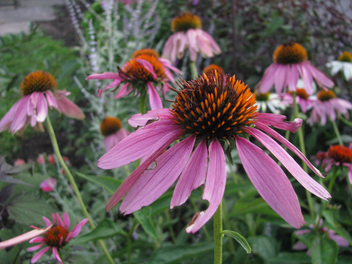 Garden Update: Coneflowers, Cosmos, Blackberries and Butterfly Bushes