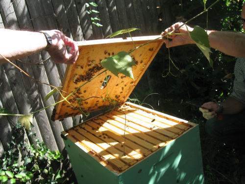 Opening the Bee Hive