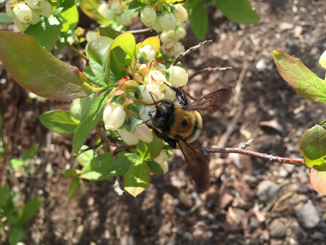 Blueberries and Bumblebees